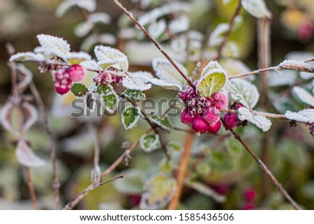 twig of bush with red berries, macro, early winter, frosted plant