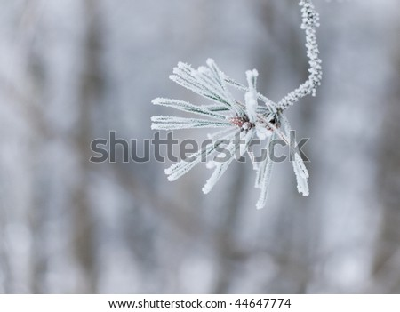 Twig of conifer with frost on the needles