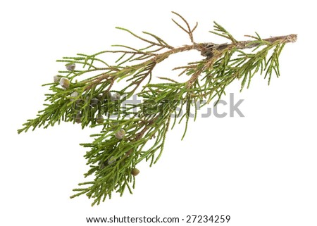 twig of evergreen juniper with old berries in springtime isolated on white