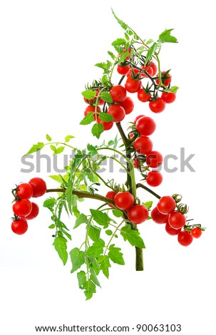 twig of fresh cherry tomato isolated on white background