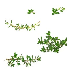Twig of garden thyme for decorating food and plate. Fresh savory condiment on twig isolated on white background