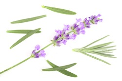Twig of lavender with leaf isolated on a white background. Top view. Flat lay pattern