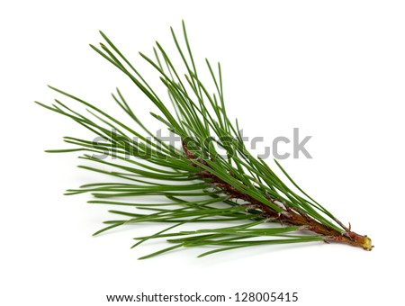 twig of pine tree isolated on white background