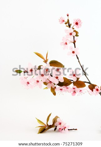 twig of sakura on white background