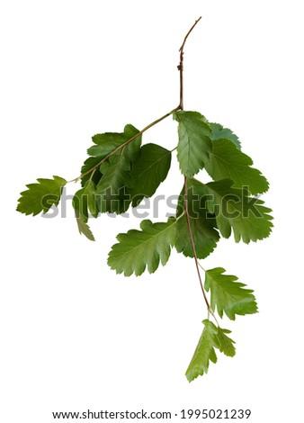 twig of Sorbus intermedia bush with green foli isolated Stock fotó ©