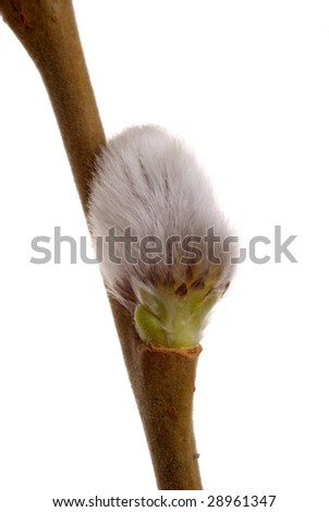 Twig of spring pussy willow over white
