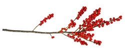 Twig of Winterberry Holly (Ilex verticillata) with red berries isolated on white