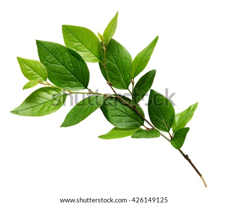 Twig with green leaves isolated on white #426149125