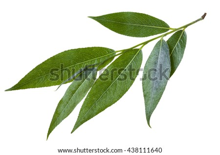 twig with green leaves of willow (Salix acutifolia, sharp-leaf willow) isolated on white background
