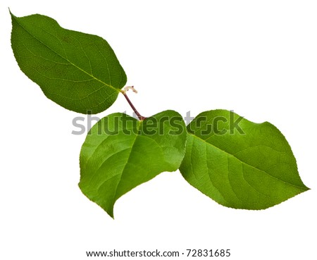 twig with green leaves on a white background - stock photo