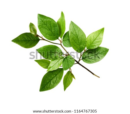 Twig with spring green leaves isolated on white