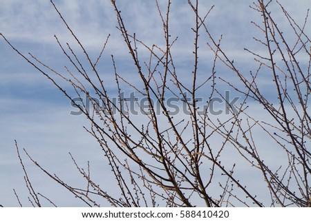 Twigs of Spring / Twigs of Spring / Twigs of Spring /  #588410420