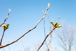 twigs with buds of apple tree and blue sky on background on sunny spring day (focus on bourgeon on foreground)