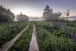 Twilight on a field covered with flowering lupines and path in spring or early summer season with fog and trees on a background in morning. Landscape.