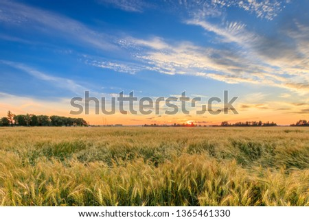 Twilight on the field with golden rye or wheat in the summer evening with a cloudy sky. Landscape. #1365461330