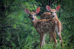 Twin fawns in the woods