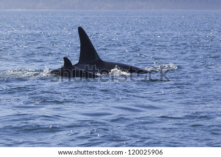 Twin Fin - A mother and calf orca swim in tight formation in the Johnstone Strait, Campbell River, Vancouver Island, Canada.