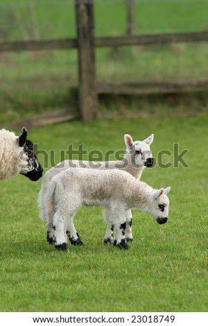 Twin lambs standing together  in a field in spring with the head of their mother partly in view.