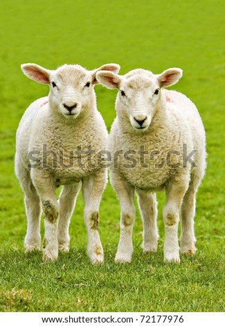 twin lambs watchful of the photographer with plain background as copy space