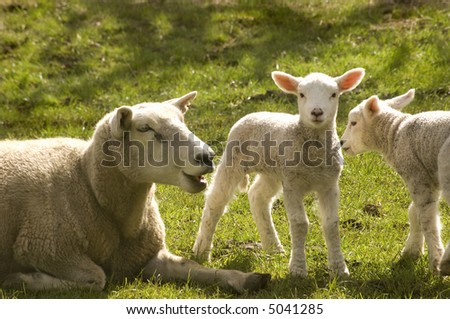 Twin new born lambs with mother