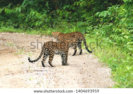 Twin of Juvenile Leopards (Panthera pardus) beautiful camouflage wild cats standing strong together on gravel road in Keang krachan national park, Thailand #1404693959