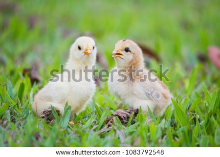 Twin of little chickens friend between brown and yellow color on green or natural background and on grass fields, Both of chicks, Newborn of chickens for concept design and decorative workings #1083792548