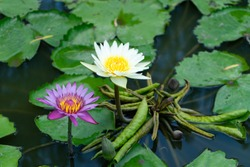 Twin of Purple and white water lily bloom are different colors,tropical flower with green leaves background with yellow pollen of lotus flora in a small pond like lover or sweet couple.