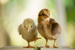 Twin or couple of little chickens friend between brown and yellow color, Close up both of chicks or newborn of chicken, Beautiful yellow and brown chick on tne natural background