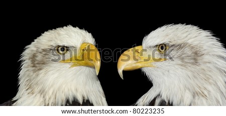 Twin portrait of two bald eagles isolated on black - stock photo