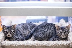 Twin Tabby Kittens or Young Cats On a Cat Tree