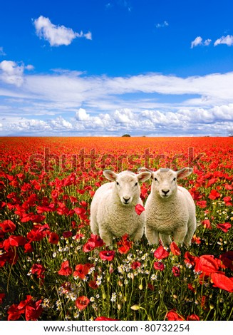 twin young lambs having an adventure by wandering into a field of corn poppies
