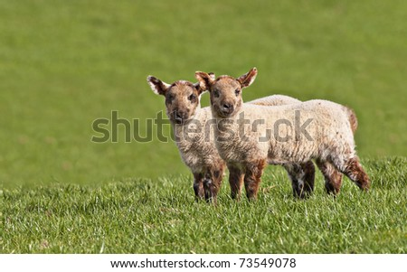 twin young lambs looking directly at the camera with copy space