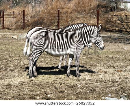 twin zebras - stock photo
