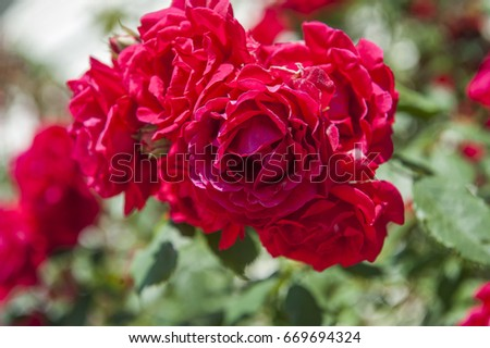 twine roses #669694324