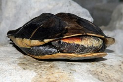 Twist-necked turtle (Platemys platycephala); adult animal