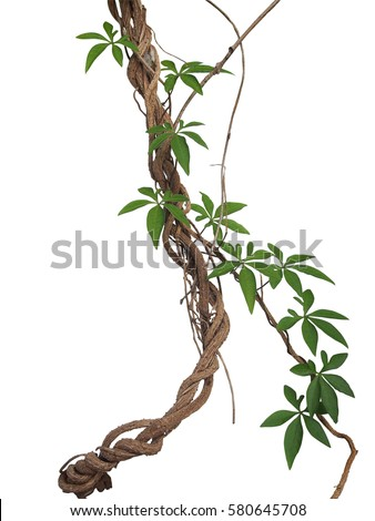 Twisted big jungle vines with leaves of wild morning glory liana plant isolated on white background, clipping path included. #580645708