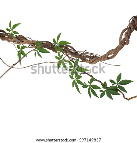 Twisted big jungle vines with leaves of wild morning glory liana plant isolated on white background, clipping path included. #597149837