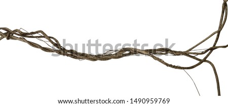 Twisted dried wild liana jungle vine tropical plant isolated on white background, clipping path included