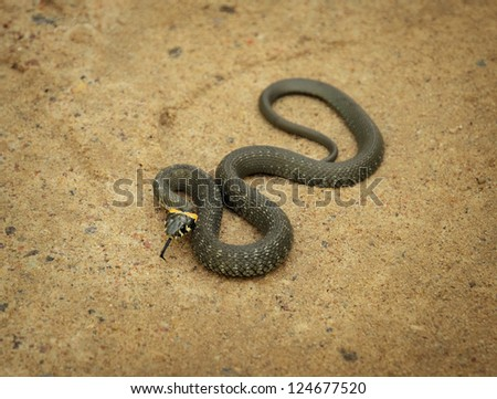 twisted grass snake lying on sand