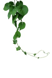 Twisted jungle vines hanging liana plant with heart shaped green leaves of cowslip creeper (Telosma cordata) medicinal forest plant isolated on white background with clipping path.