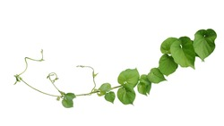 Twisted jungle vines liana plant Cowslip creeper vine (Telosma cordata) with heart shaped green leaves and flowers isolated on white background, clipping path included.