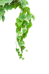 Twisted jungle vines liana plant Cowslip creeper vine (Telosma cordata) with heart shaped green leaves  isolated on white background, clipping path included, vertical