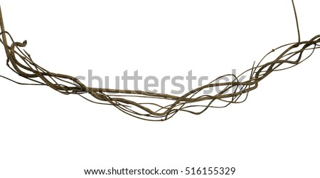 Twisted wild liana jungle vine isolated on white background, clipping path included