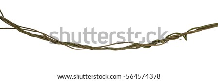Twisted wild liana jungle vine isolated on white background, clipping path included #564574378