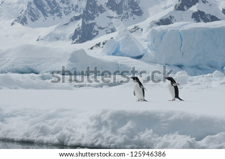 Two Adelie penguins on the ice among icebergs spring day.