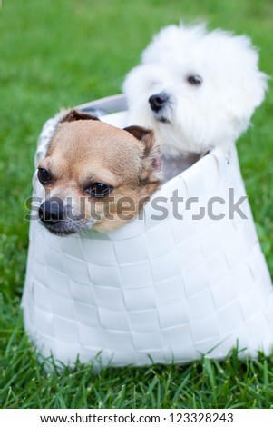 Two adorable dogs sitting in the bag, focus on chihuahua