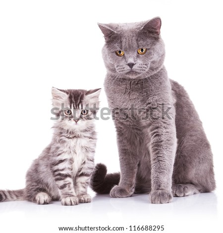 two adorable english cats, an adult and a cub looking at the camera and standing on a white background