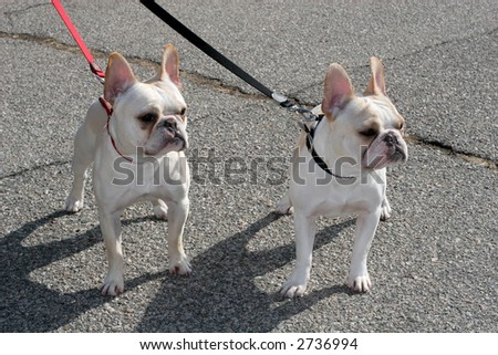 two adorable french bulldogs