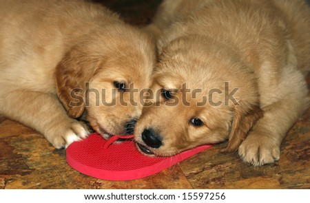 two adorable golden retriever puppies chewing on flip-flops