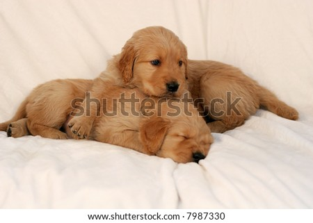 golden retriever puppies pictures. golden retriever puppies,